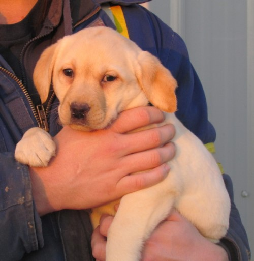 Cowboy Up Kennel - Lab breeders in AB